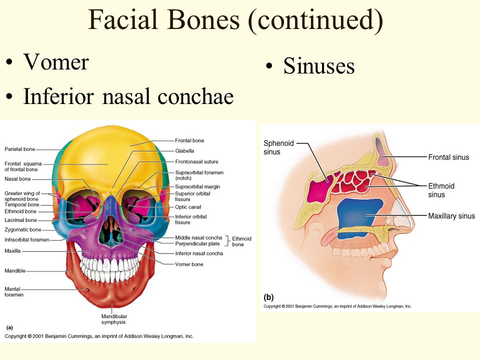 Facial Bones (continued)