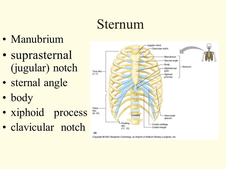 Sternum suprasternal (jugular) notch Manubrium sternal angle body