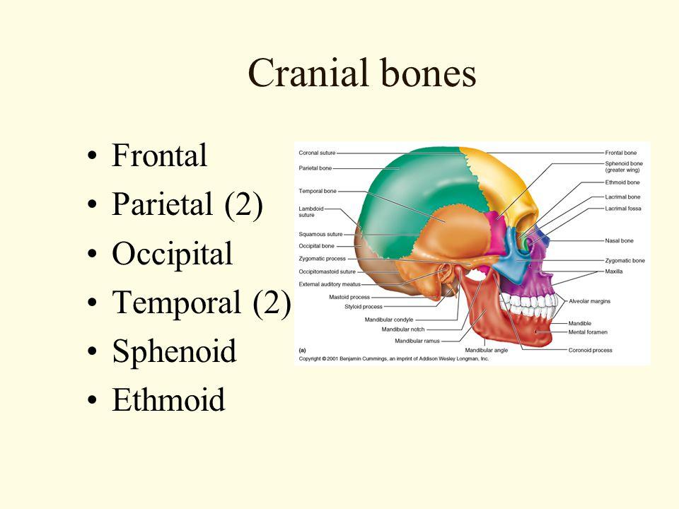 Cranial bones Frontal Parietal (2) Occipital Temporal (2) Sphenoid