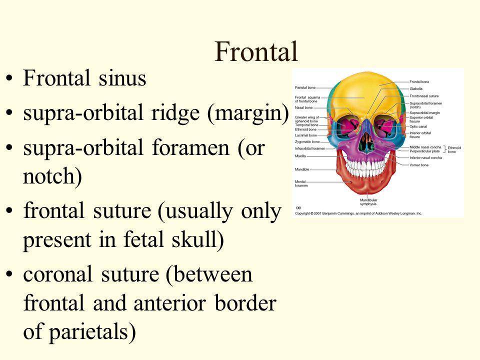 Frontal Frontal sinus supra-orbital ridge (margin)