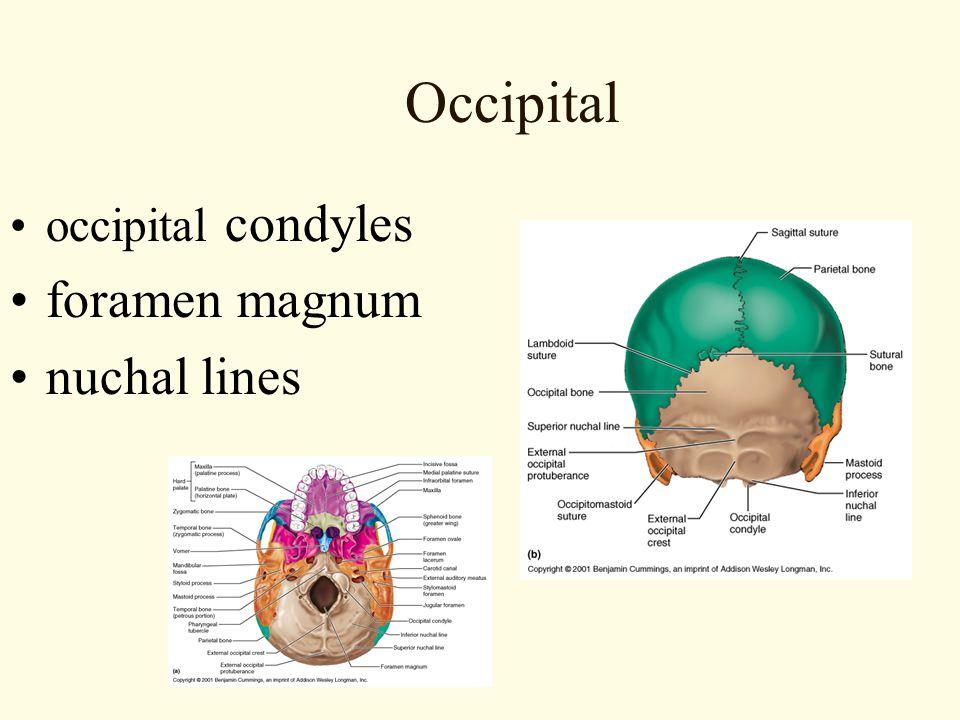 Occipital occipital condyles foramen magnum nuchal lines