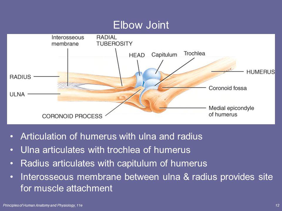 Radius ulna anatomy