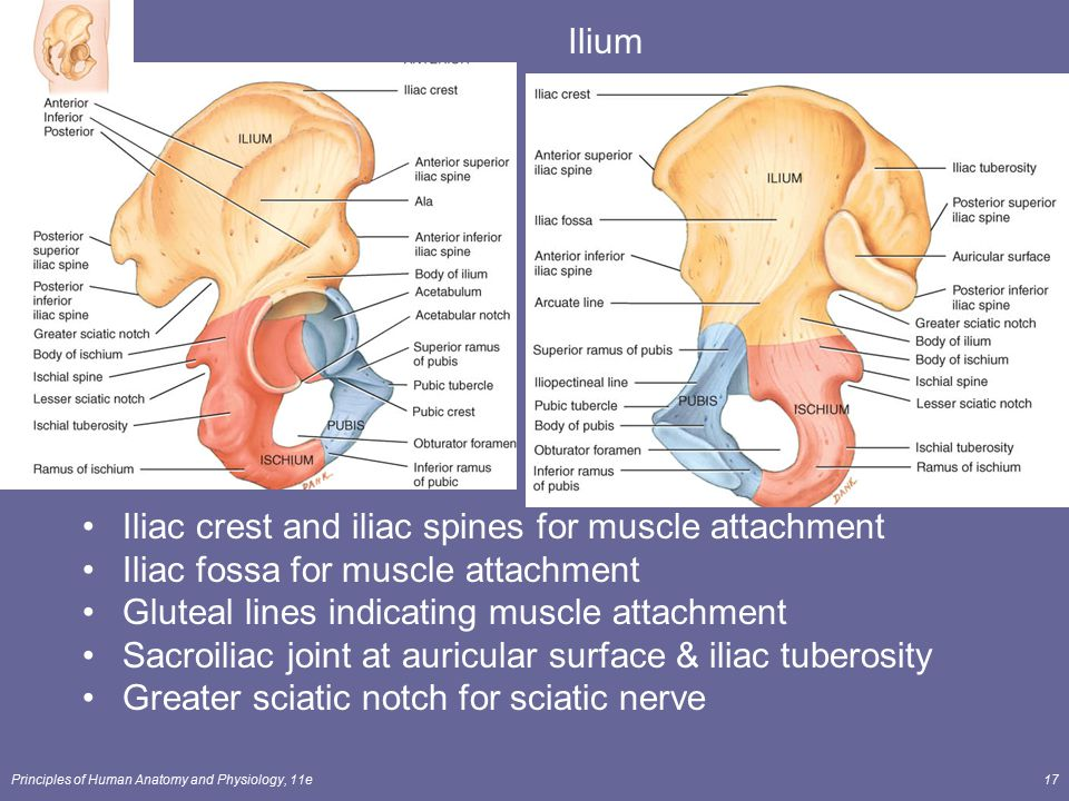 Iliac crest and iliac spines for muscle attachment