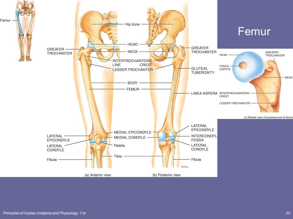 Fein Anatomy And Physiology Of Femur Fracture Fotos - Menschliche ...