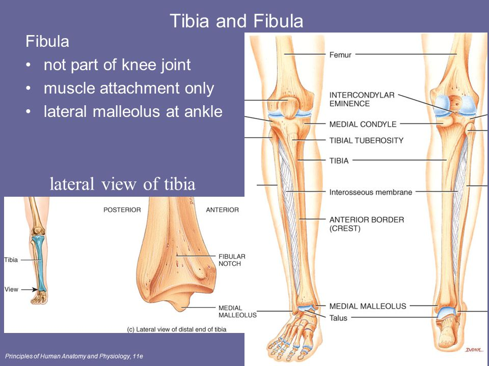 Tibia and Fibula lateral view of tibia Fibula not part of knee joint