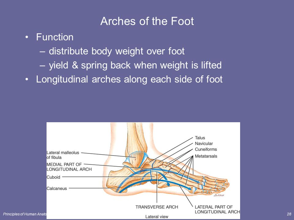 Arches of the Foot Function distribute body weight over foot