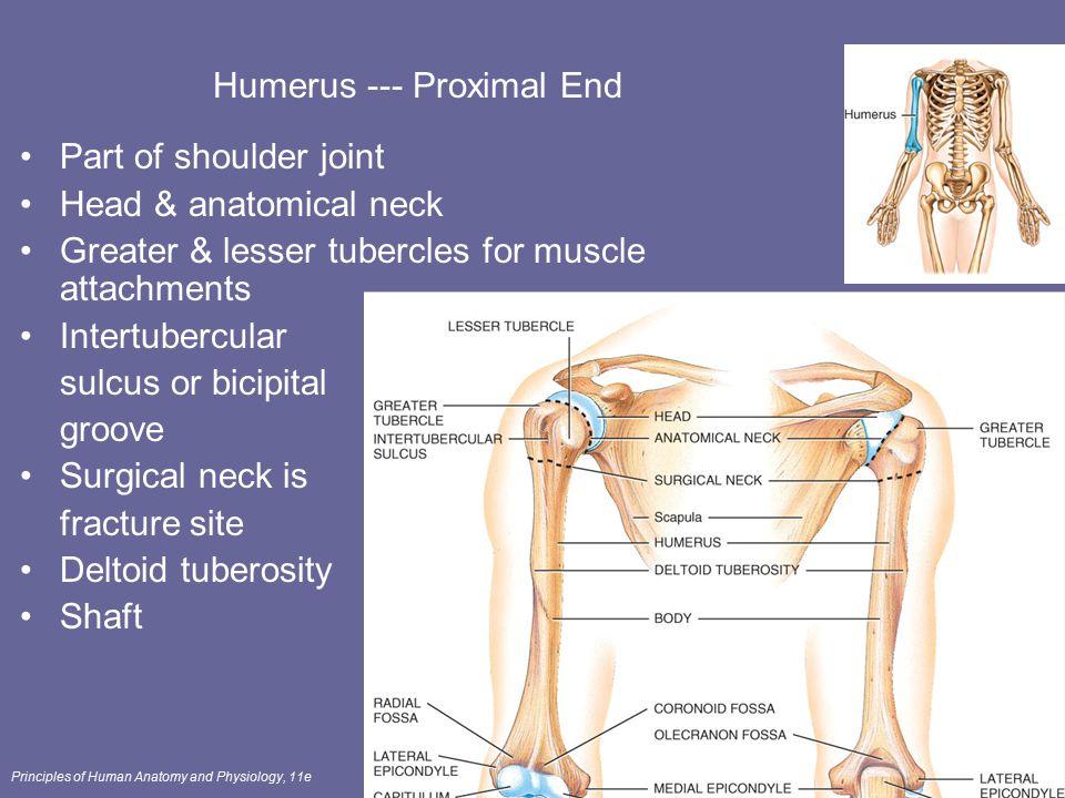 Humerus --- Proximal End