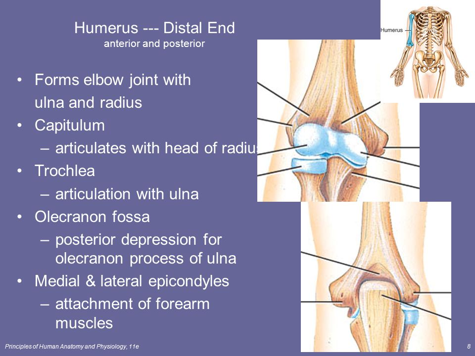 Humerus --- Distal End anterior and posterior