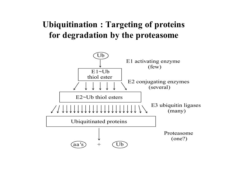 Ubiquitination : Targeting of proteins for degradation by the proteasome