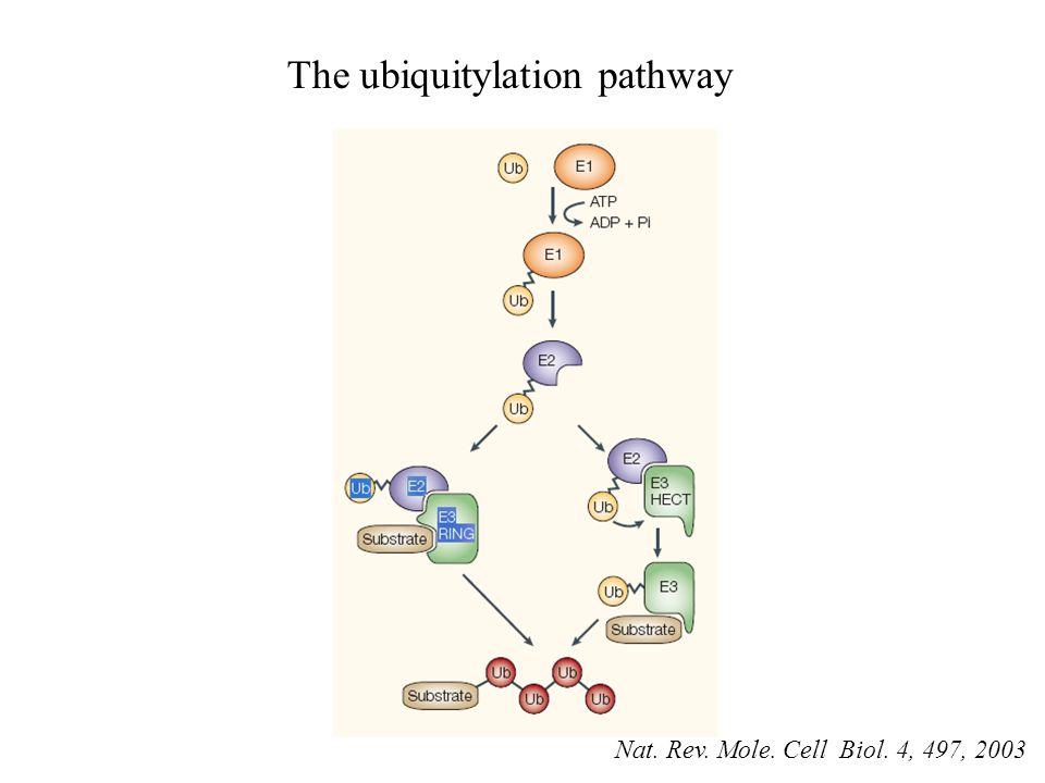 The ubiquitylation pathway