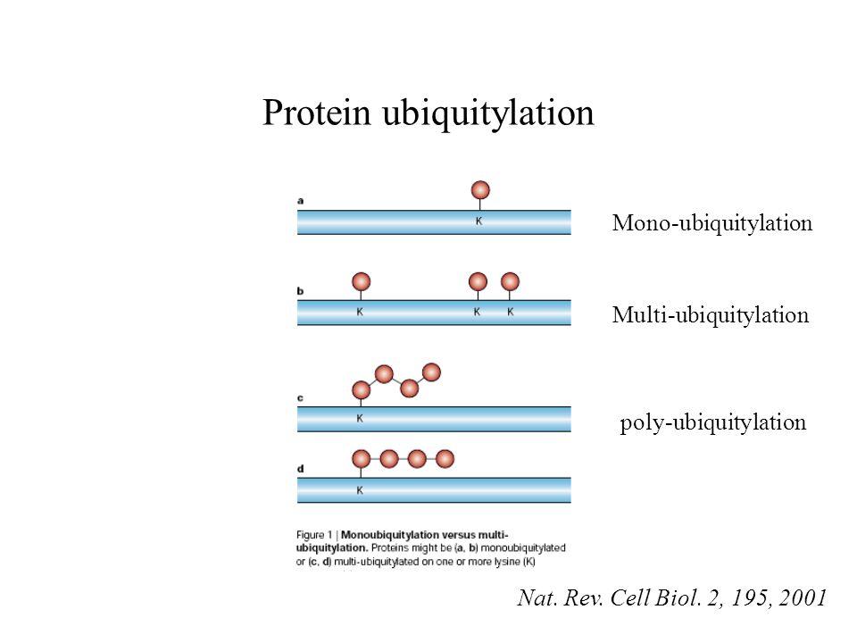 Protein ubiquitylation