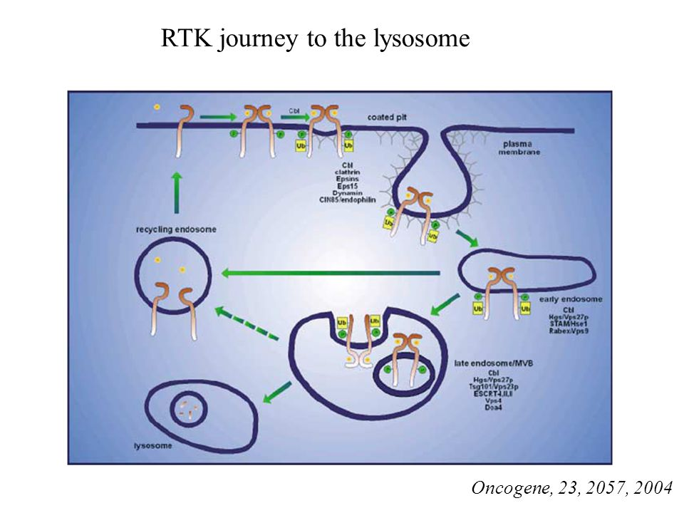 RTK journey to the lysosome
