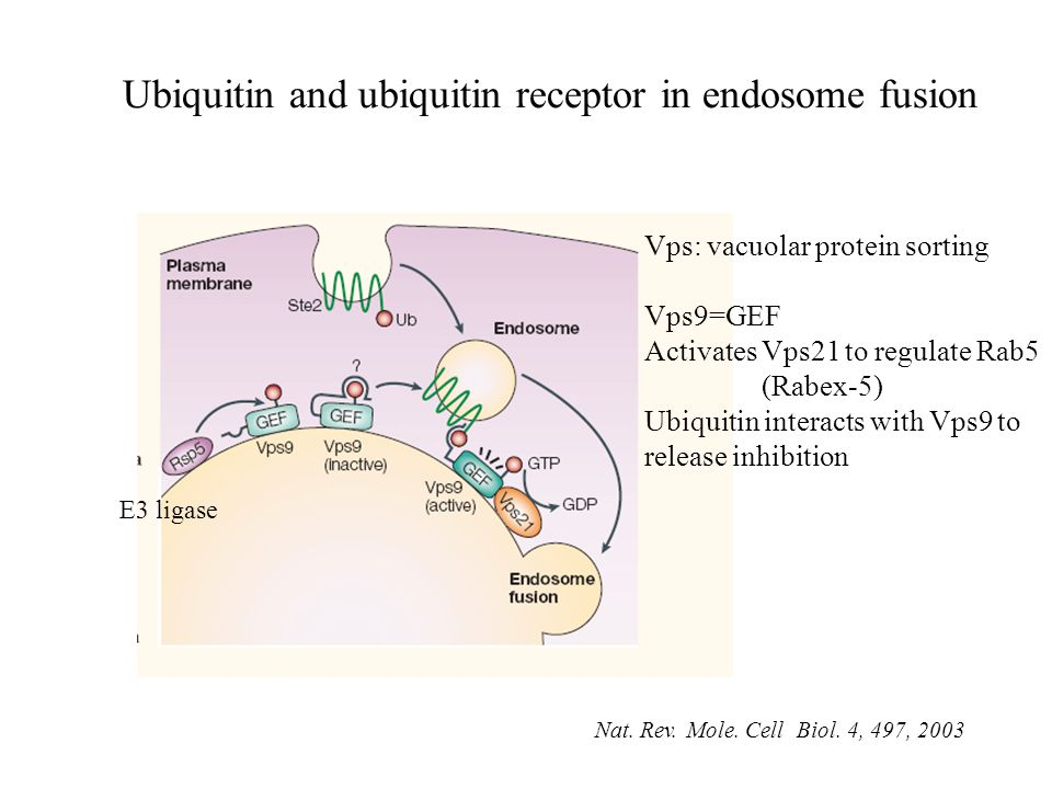 Ubiquitin and ubiquitin receptor in endosome fusion