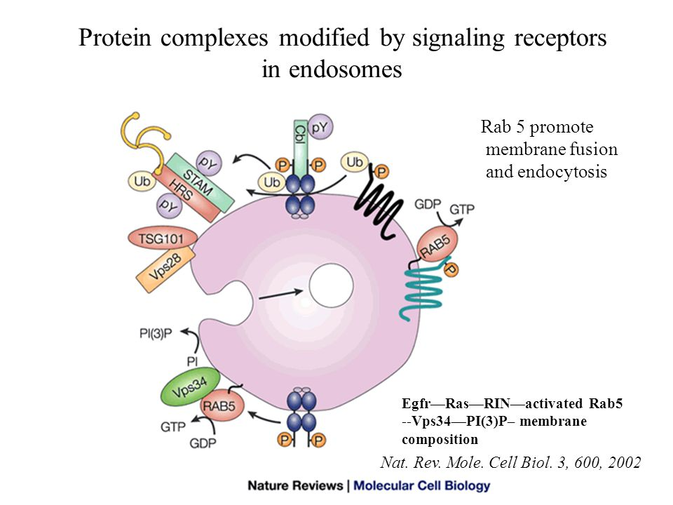Protein complexes modified by signaling receptors in endosomes