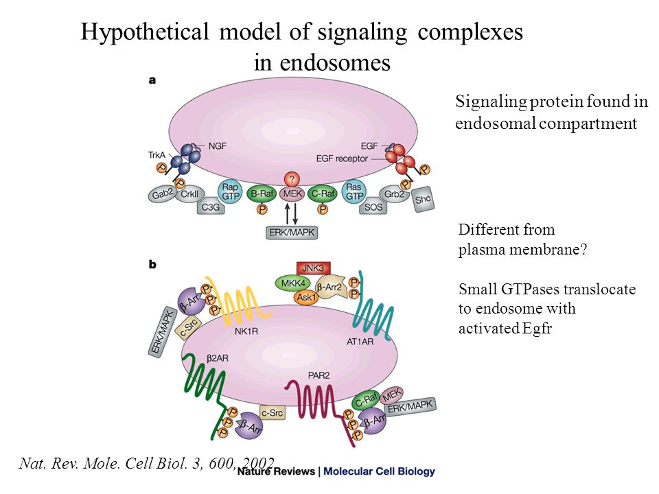 Hypothetical model of signaling complexes in endosomes