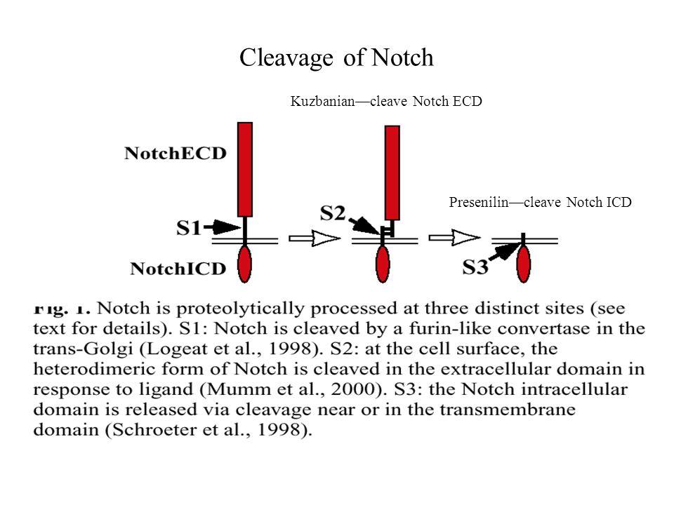 Cleavage of Notch Kuzbanian—cleave Notch ECD