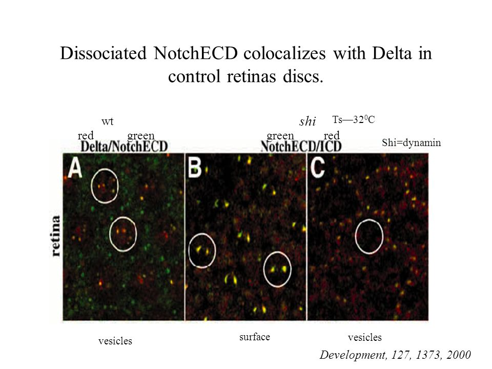 Dissociated NotchECD colocalizes with Delta in control retinas discs.