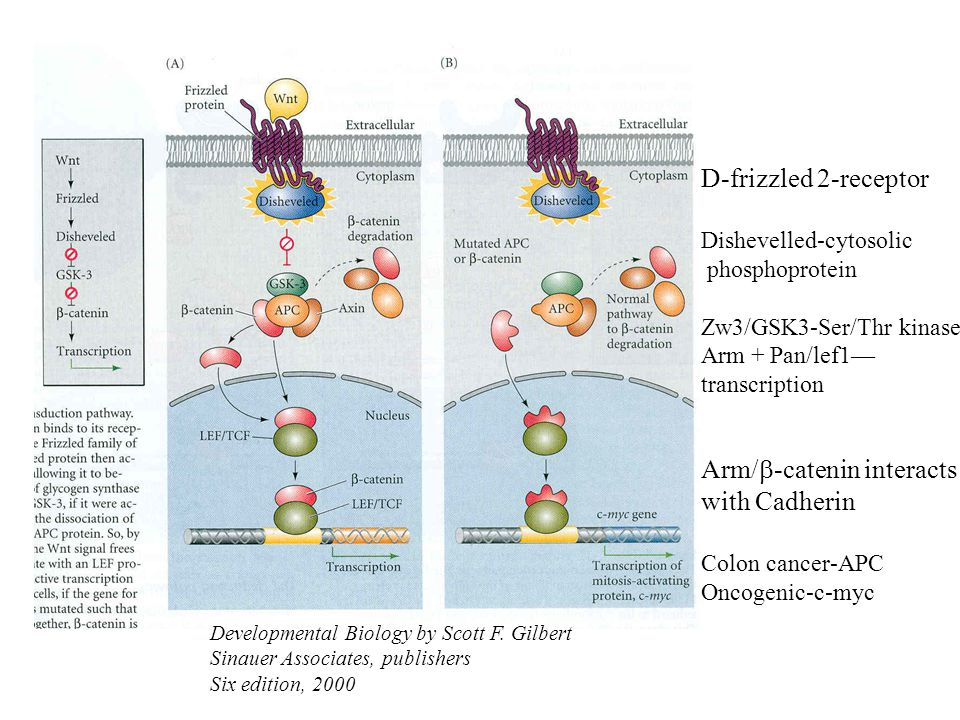 Arm/b-catenin interacts with Cadherin
