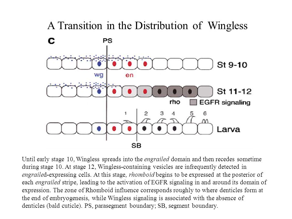 A Transition in the Distribution of Wingless