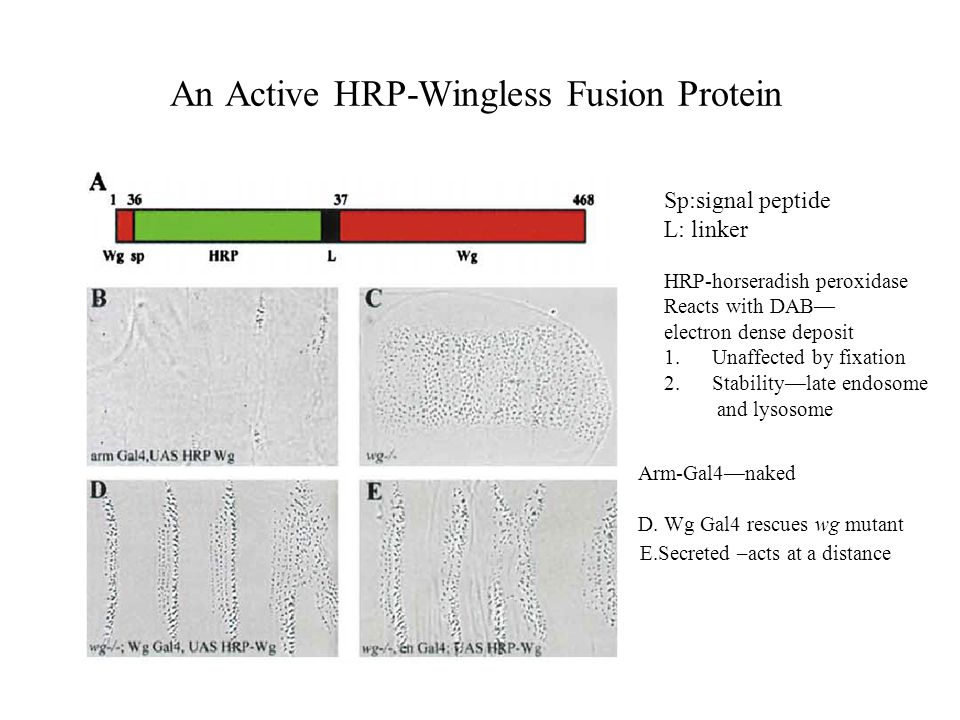 An Active HRP-Wingless Fusion Protein