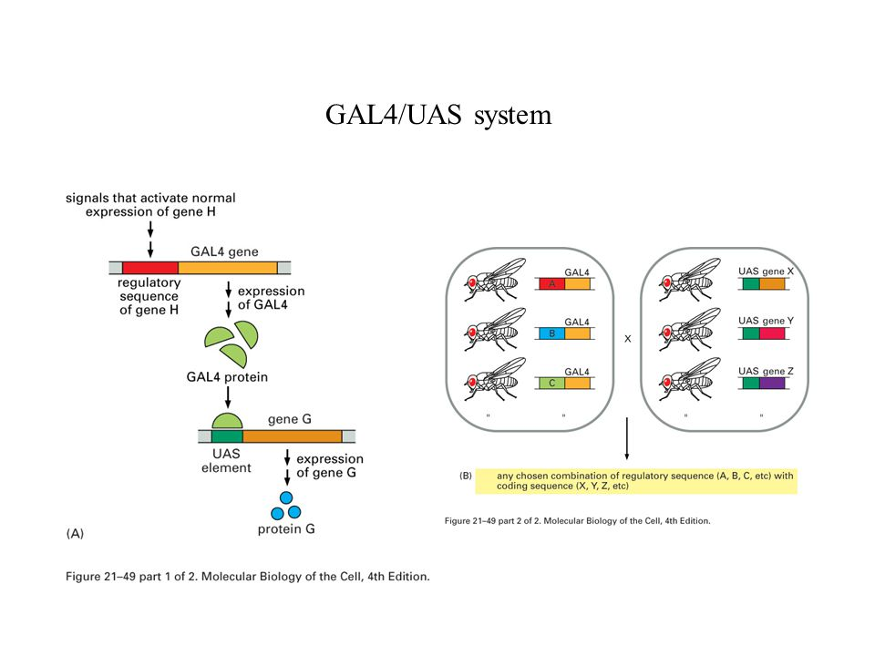 GAL4/UAS system