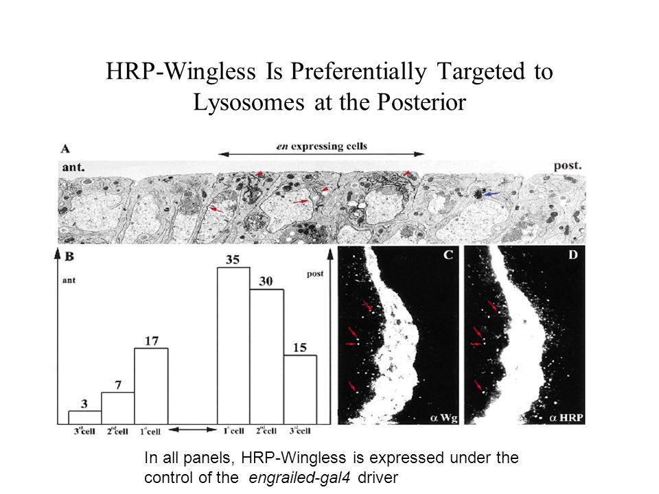HRP-Wingless Is Preferentially Targeted to Lysosomes at the Posterior
