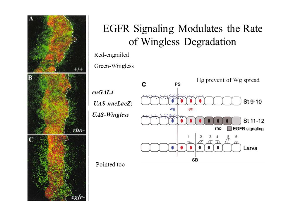 EGFR Signaling Modulates the Rate of Wingless Degradation