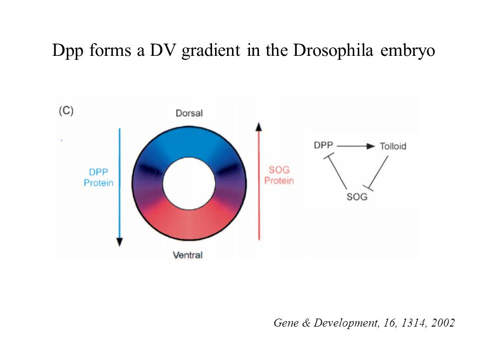 Dpp forms a DV gradient in the Drosophila embryo