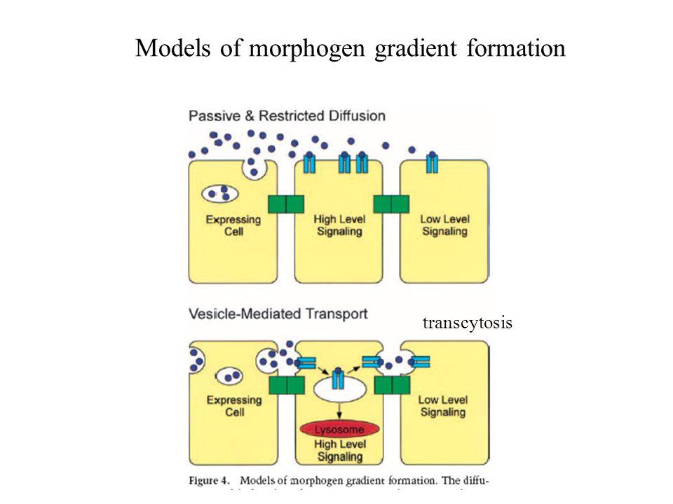 Models of morphogen gradient formation