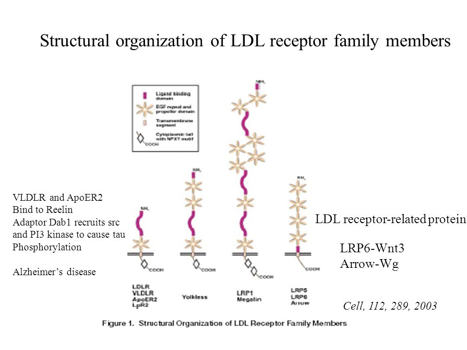 Structural organization of LDL receptor family members