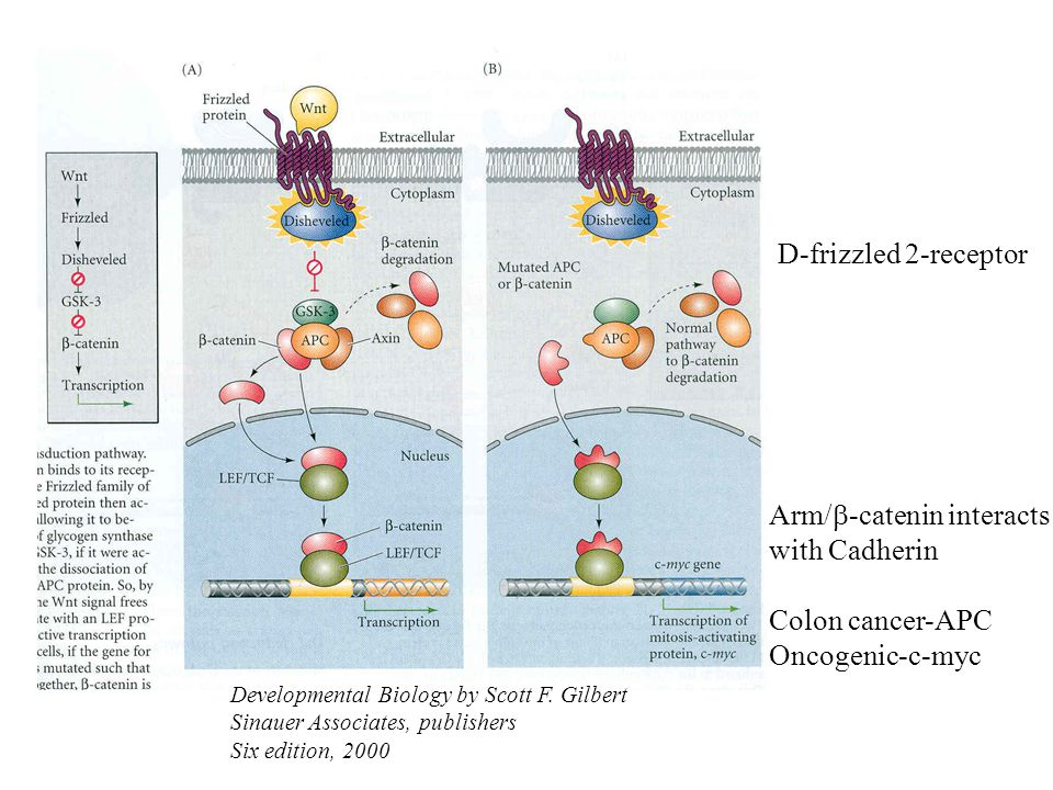 Arm/b-catenin interacts with Cadherin Colon cancer-APC Oncogenic-c-myc