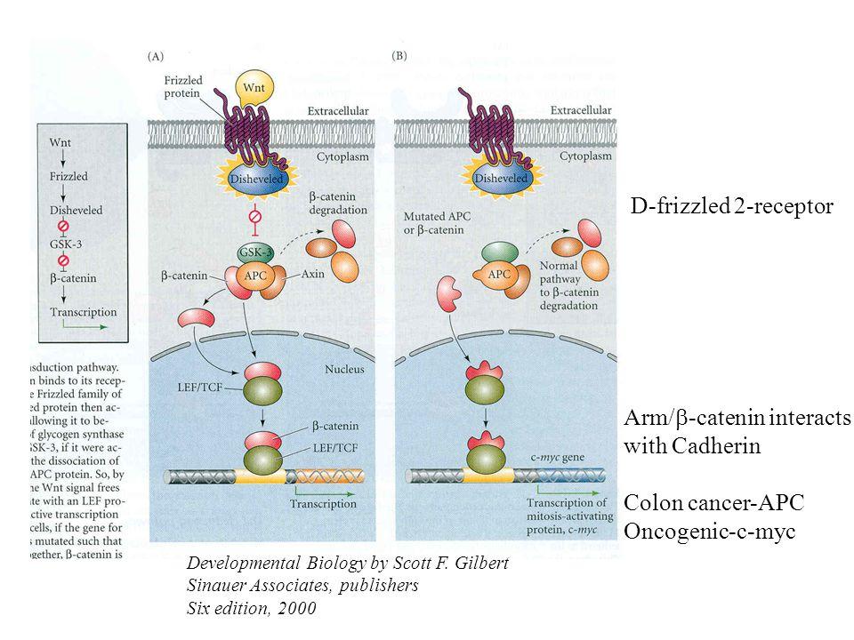 Arm/b-catenin interacts with Cadherin Colon cancer-APC Oncogenic-c-myc