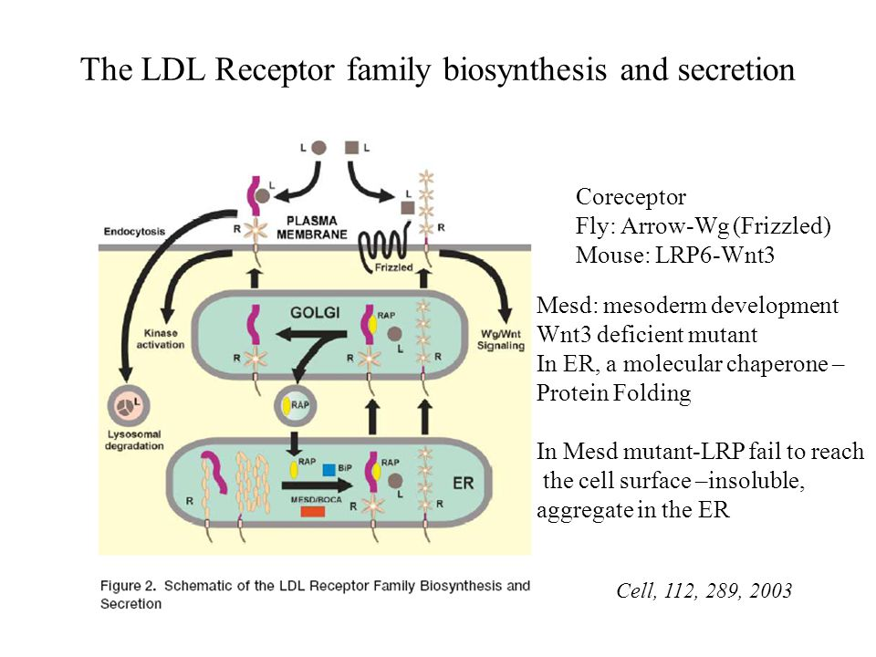 The LDL Receptor family biosynthesis and secretion