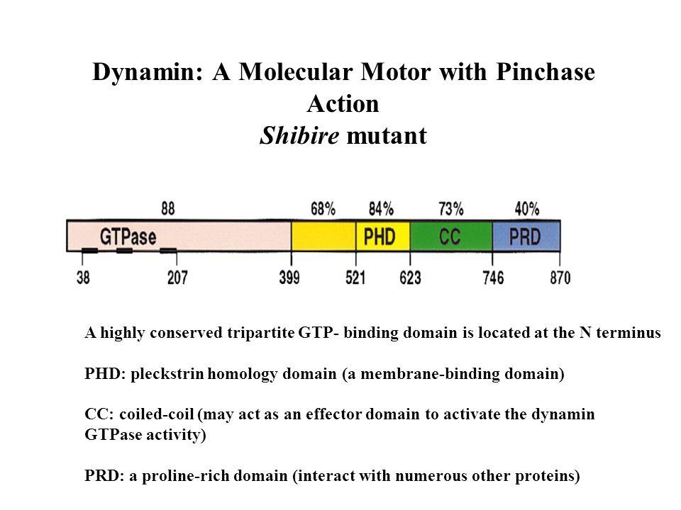 Dynamin: A Molecular Motor with Pinchase Action Shibire mutant