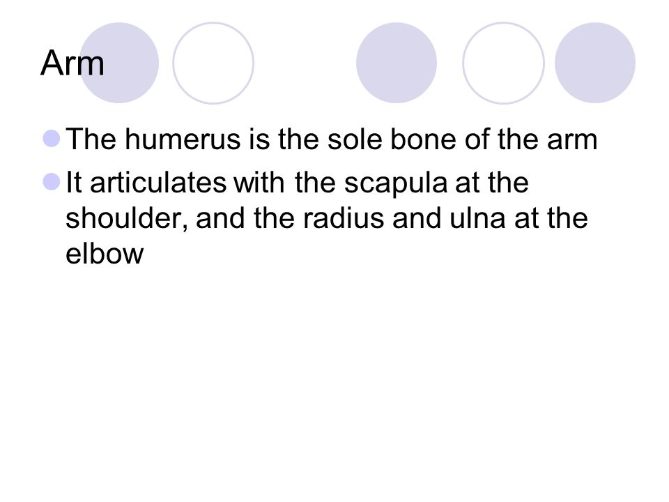 Arm The humerus is the sole bone of the arm
