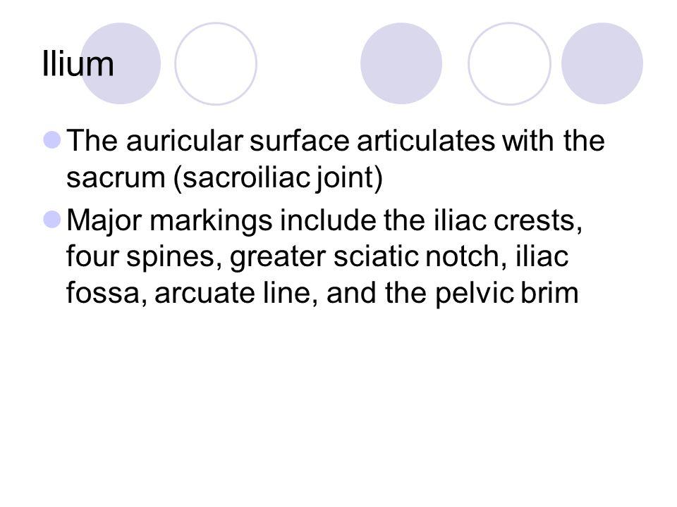 Ilium The auricular surface articulates with the sacrum (sacroiliac joint)