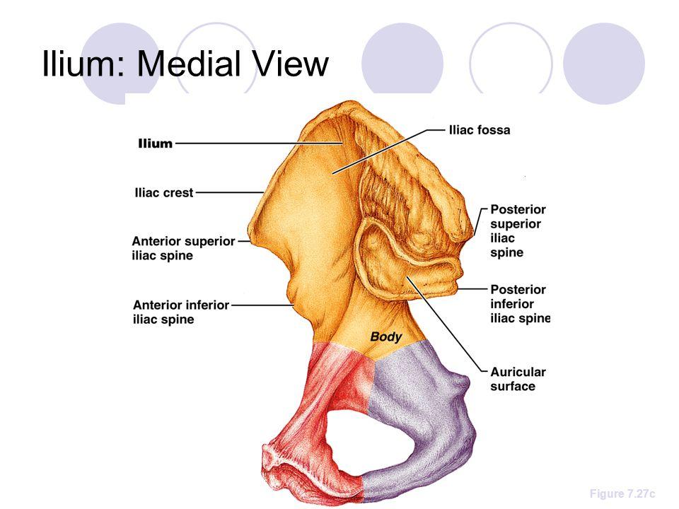 Ilium: Medial View Figure 7.27c