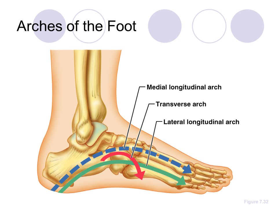 Arches of the Foot Figure 7.32