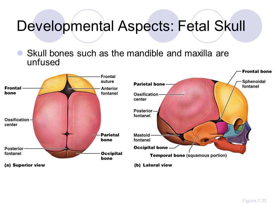 Developmental Aspects: Fetal Skull