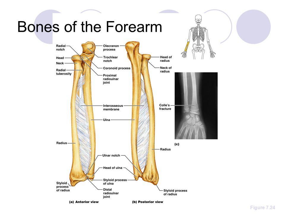 Bones of the Forearm Figure 7.24