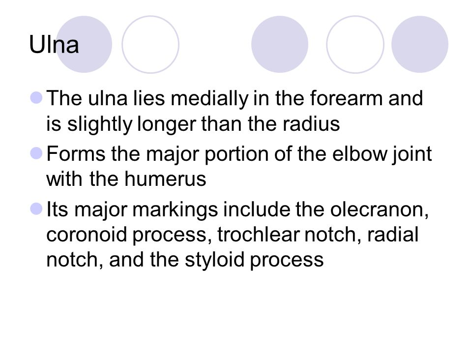 Ulna The ulna lies medially in the forearm and is slightly longer than the radius. Forms the major portion of the elbow joint with the humerus.