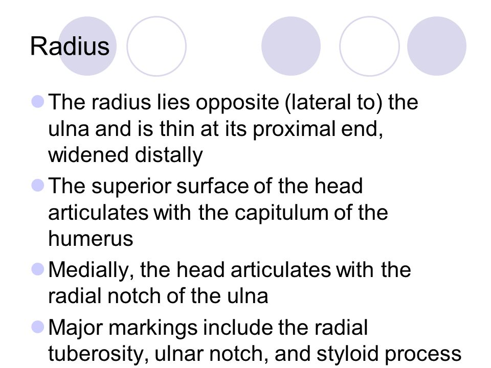 Radius The radius lies opposite (lateral to) the ulna and is thin at its proximal end, widened distally.
