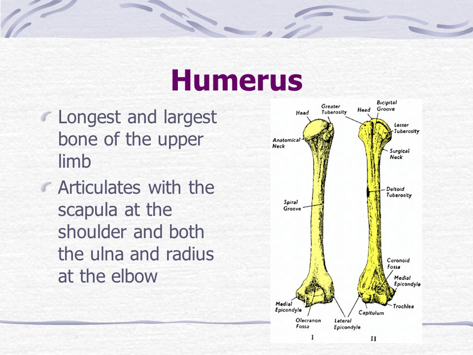 Humerus Longest and largest bone of the upper limb