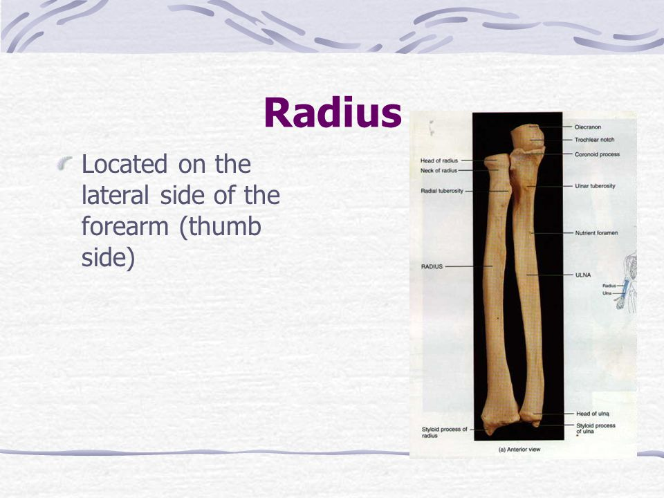 Radius Located on the lateral side of the forearm (thumb side)