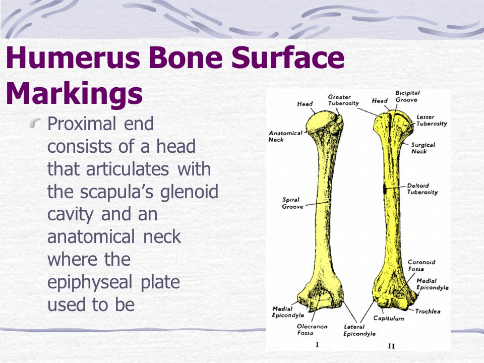 Humerus Bone Surface Markings