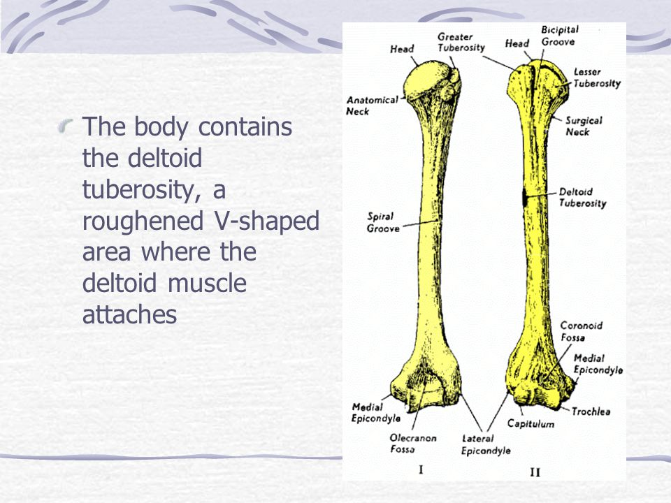 The body contains the deltoid tuberosity, a roughened V-shaped area where the deltoid muscle attaches