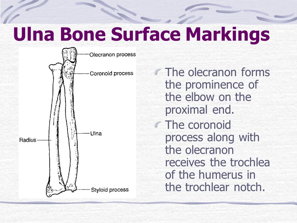 Ulna Bone Surface Markings