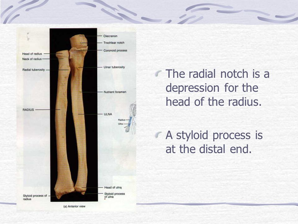 The radial notch is a depression for the head of the radius.