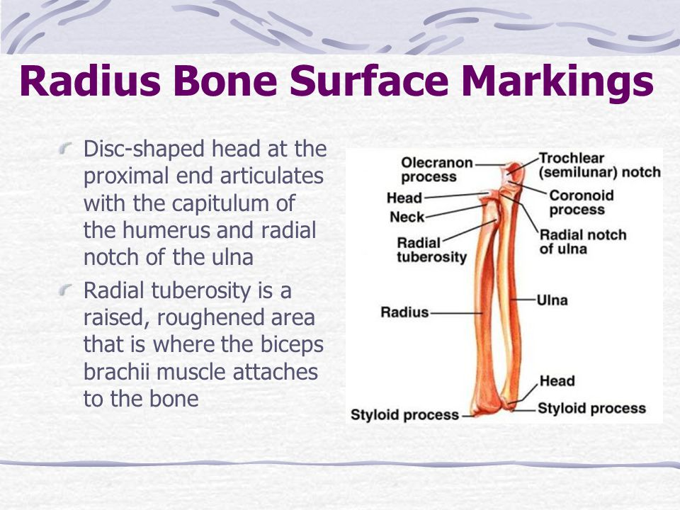 Radius Bone Surface Markings