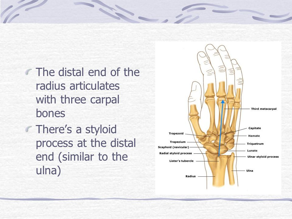 The distal end of the radius articulates with three carpal bones